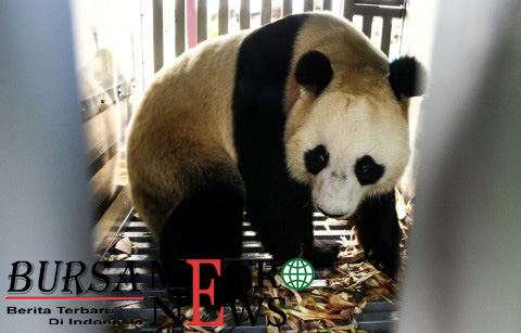 Panda Duta Persahabatan dan Simbol Perdamaian Tiongkok