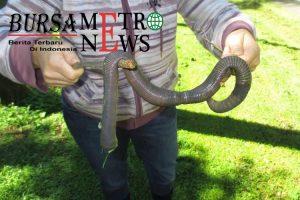 Perempuan Australia Temukan Cacing Raksasa Berukuran 1 Meter