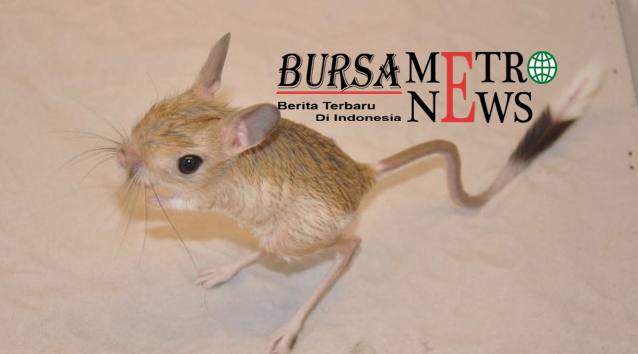 Langka Hewan Mungil Mirip Tikus dan Kangguru Ini Viral