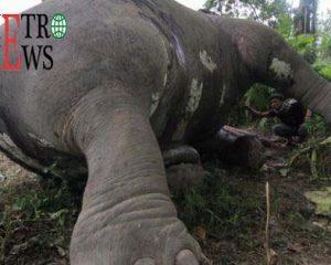 Gajah Betina Ditemukan Mati di Kebun Sawit Aceh Timur