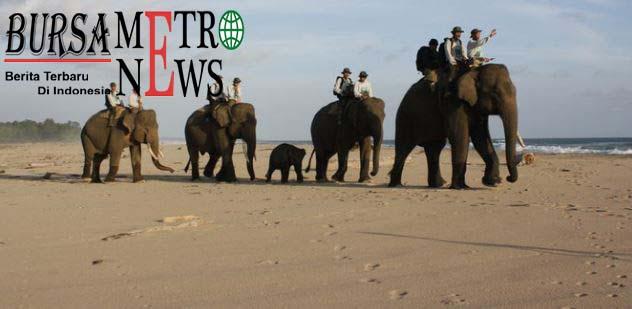 Sulit Dapat Betina, Gajah Jantan Sedang Birahi Berkeliaran ke Pemukiman