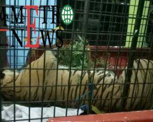 Penyebab Harimau Sumatera Serang Manusia, Mangsanya Habis Diburu