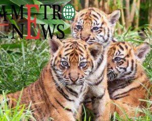 Mayat Petani di Lahat dengan Tubuh Tak Lengkap Diterkam Harimau