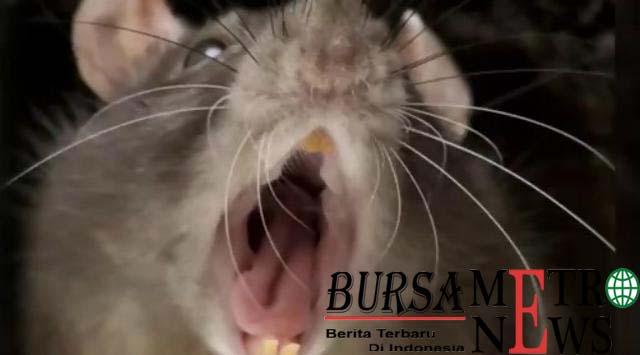 Ditinggal Ibu Dugem Balita Tewas Dimakan Tikus