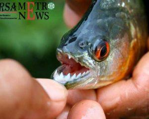 http://www.bursametronews.com/inilah-fakta-ikan-piranha-yang-jarang-diketahui/